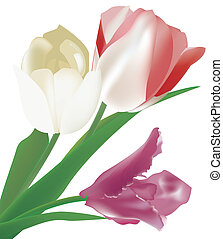 Tulips in different colors isolated on white background