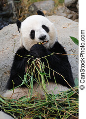 Giant panda eating bamboo leaf