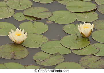 Two water lilly flower
