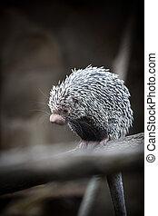 Close-up of a cute Brazilian Porcupine (Coendou prehensilis;...