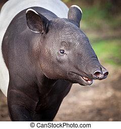 Malayo, tapir, también, llamado, asiático,...