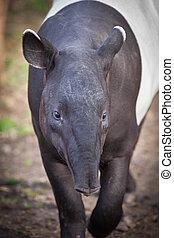 Malayan Tapir, also called Asian Tapir (Tapirus indicus)
