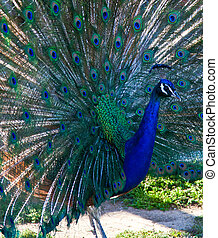 Peacock - Beautiful Peacock