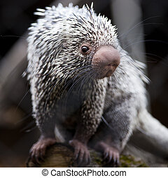 Close-up of a cute Brazilian Porcupine Coendou prehensilis;...