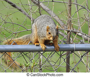 fox squirrel  - a fox squirrel sitting on a fence