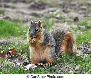 fox squirrel - a fox squirrel feeding on a grass