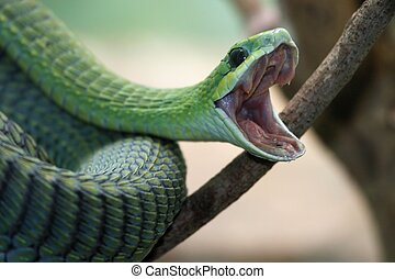 Boomslang Snake - Venomous green boomslang snake with mouth...