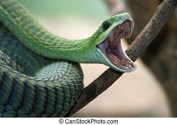 Boomslang, serpiente