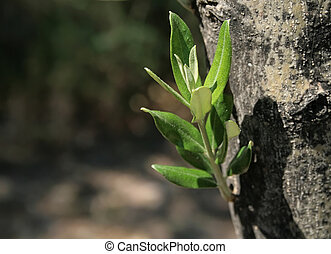 Mediterranean Olive Tree Sprout - A sprout of an olive trees...