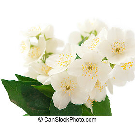 jasmine on a white background