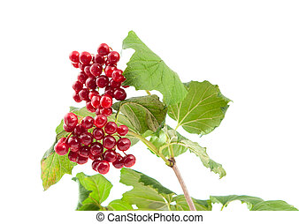 Viburnum berries on a white background