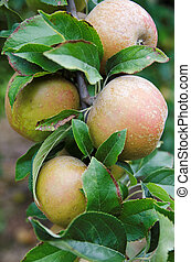 Russet Apples - Russet apples growing in Kent , UK