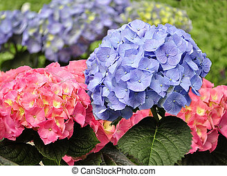 Hortensia - blue and pink Hortensia flowers, close up
