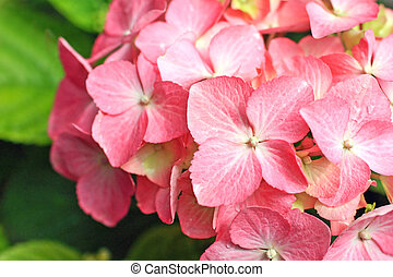 Lovely pink hortensia close up