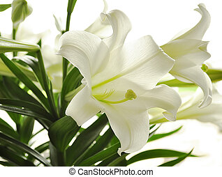 white lily - beautiful white lily flowers , close up