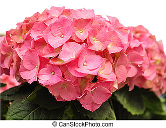 hortensia  - pink hortensia flowers ,close up