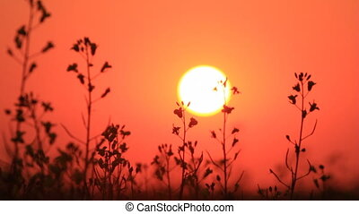 Sunset red sky, grass silhouette