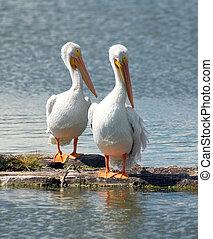 Pelicans Lake Klamath