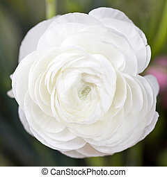 White Ranunculus - Close=up of whole ranunculus flower....