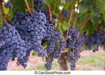 Grape Vine - A healthy grape vineyard before harvest