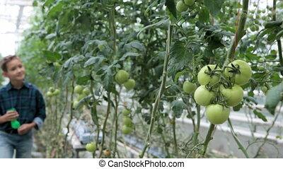 Little gardener - Cute little boy looking at tomato plants...