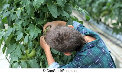 Looking for ripe tomatoes - Cute little boy looking at...