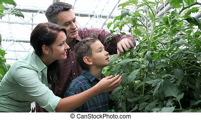 Family in greenhouse - Happy family taking care of tomato...