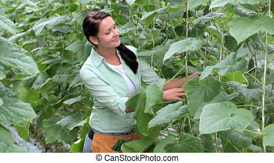 Farmer at work - Woman refreshing tomato leaves and little...