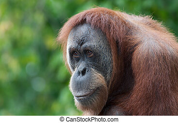 Orangutan looks over the croud at the local zoo
