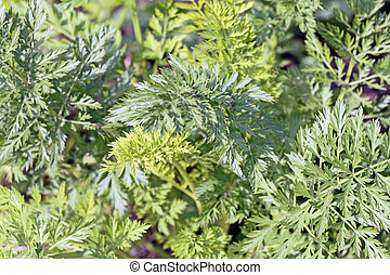 Carroty jungle - A close-up of young garden carrot tops