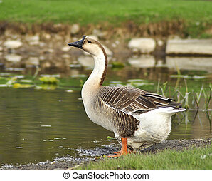 wild goose  - a wild goose by the lake