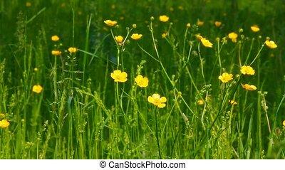 buttercup flowers in summer meadow