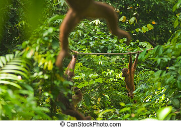 Orangutan Swinging Through Jungle Sepilok - Orangutans swing...