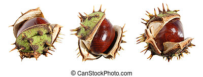 horse chestnut conker border