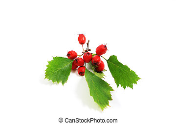 hawthorn berries - red fresh hawthorn berries on white