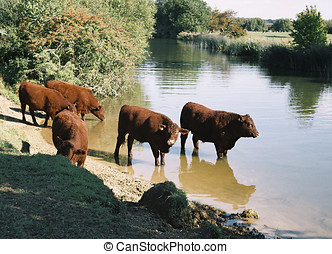 Cattle at the riverside