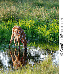 Fawn at Dawn - This fawn enjoyed a sip after sunrise in Big...