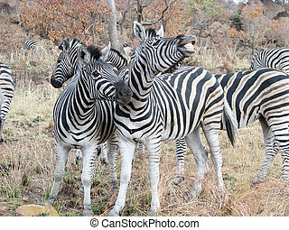 Zebras Equus burchellii - Zebras Equus Burchellii at the...
