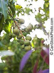 natureza, ameixa, árvore, fruta, verde, fresco