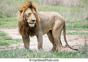 African lion Panthera leo - African lion in the Ngotongoro...