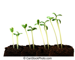 Progression of seedling growth - Seedling growth shown...