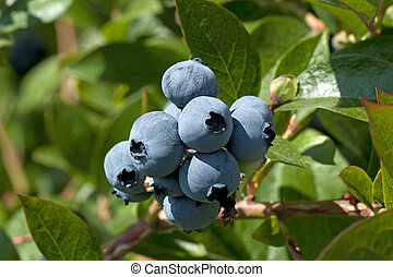Blueberry on the tree - Fresh blueberries in orchard