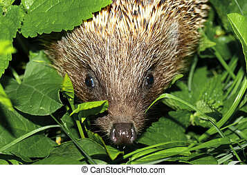 hedgehog muzzle against a background of green foliage Macro