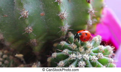 Ladybug in the cactus