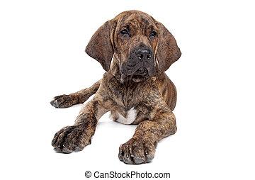 Brazilian Mastiff or Fila Brasileiro - Brazilian Mastiff...