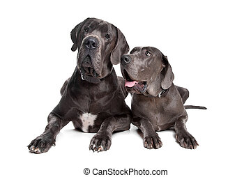 Two grey great Dane dogs on front of a white background