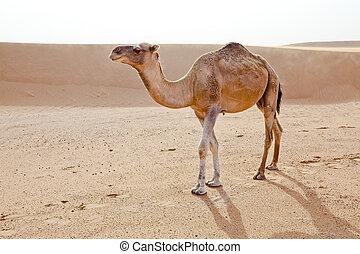 Camel in Sahara. - Camel in Sahara desert in Morocco....