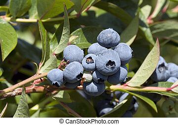 Blueberry on the tree