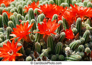 Cactus red flowers - blooming flowers of Red Torch Cactus,...
