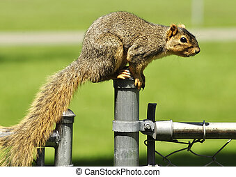 fox squirrel - a fox squirrel on a fence